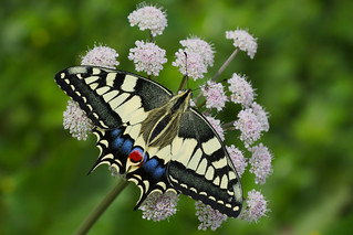 Papilio machaon (4)