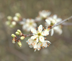 Blackthorn (ekaterina alexander) Tags: blackthorn flower flowers blossom sloe prunus spinosa spring tree ekaterina england alexander sussex nature photography pictures