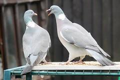 21 April 2017 (20) (AJ Yakstrangler) Tags: yakstrangler pigeon pigeons