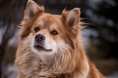 Finnish lappdog (steffos1986) Tags: animal dog food expression bokeh wild outside tamron nikon d5500 60mm winter cold portrait kind february pet