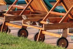 Sparrows on the beach (Christoph Ivanov) Tags: beach spring summer birds sunbeds sparrows morning sunrise sunlight