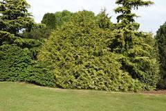 Cedar (Western Red 'Zebrina') (Hall Place Idler) Tags: cedar western red zebrina thuja cupressaceae hallplace