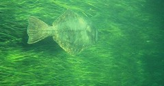 Learn more about saving sea grass meadows and how we work to protect essential h... (Darth Viral) Tags: bass bluefish crabs essential fish flounder habitat herring menhaden seagrass