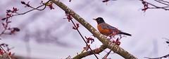 Robin (robinlamb1) Tags: bird nature animal outdoor maple tree americanrobin turdusmigratorius backyard aldergrove bc