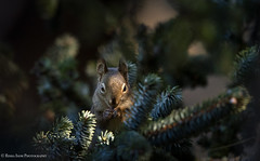 Peek-A-Boo (rishaisomphotography) Tags: redsquirrel kodiak nearisland spruce light dark nature naturephotographer outdoors wildlife wildlifephotography mammal tamiasciurushudsonicus rodent cute adorable