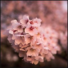 Cherry flower macro (Jean-David & Anne-Laure) Tags: 28mm blossom cherry color flowers highpark leica leicaq macro rain sprint sunset toronto tree warm wideangle