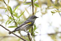 Female yellow-rumped warbler intergrade (jlcummins - Washington State) Tags: bird yakimacounty washingtonstate canon tamronsp150600mmf563divcusd yellowrumpedwarbler