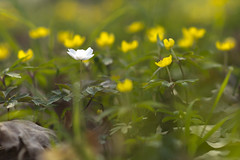 spring feelings (*MH*) Tags: frühling spring blüten flowers weis white gelb yellow frühblüher buschwindröschen anemone windröschen natur nature