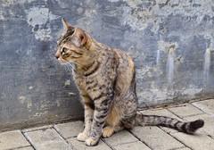 (Carolina Jiménez Valencia) Tags: photography nikon cat street animales nature calle gato callejero mascota animal naturaleza nikond5300 foto fotografía
