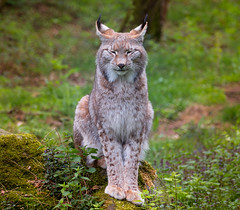 Luchs (Don Gelo) Tags: luchs lynx hessen germany green nature wildlife wildpark hanau fasanerie cat katze wildcat bobcat