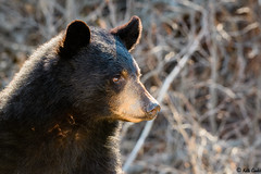 170429 - Black Bear (sow) (keithconfer) Tags: blackbear mammals