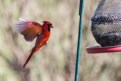 Anglų lietuvių žodynas. Žodis cardinal reiškia In kardinolas; IIa 1) svarbiausias, pagrindinis; cardinal numbers kiekiniai skaitvardžiai; four cardinal points keturios pasaulio šalys; 2) skaisčiai raudonas lietuviškai.