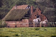 happy fenced friday! (bestauf) Tags: horses pferde scheune ruine marode barn meadow