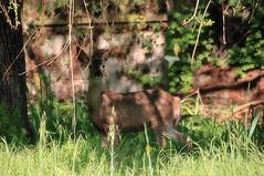 Over the garden wall (TJ Gehling) Tags: mammal cervidae deer blacktaileddeer odocoileus odocoileushemionus drmp dorothyrosenbergmemorialpark elcerrito wall garden