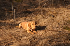 kaliLying (phanmore) Tags: dog retreiver lab labrador foxred d300s nikon 70300