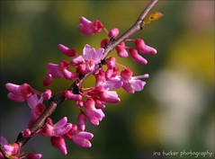 The best baby-sitters, of course, are the baby's grandparents. You feel completely comfortable entrusting your baby to them for long periods.... (itucker, thanks for 2.9+ million views!) Tags: cercis redbud macro bokeh pink hppt dukegardens