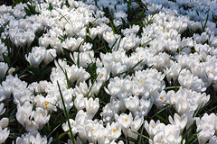 Keukenhof 28 March 2017-0679.jpg (JamesPDeans.co.uk) Tags: landscape flowers plants nature prints for sale crocusses digital downloads licence man who has everything keukenhof colour white gardens garden netherlands park landscapeforwalls europe wwwjamespdeanscouk james p deans photography digitaldownloadsforlicence jamespdeansphotography printsforsale forthemanwhohaseverything