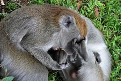 Bukittinggi - Keep your Toes out of my Face ! (Drriss & Marrionn) Tags: travel bukittinggi outdoor sumatra indonesia asia southeastasia sianokcanyon kotogadangvalley animal animals macacafascicularis crabeatingmacaque longtailedmacaque monkey monkeys mammal ape cercopithecidae cynomolgusmonkey brown makaku macaca omnivore taxonomy:binomial=macacafascicularis taxonomy:genus=macaca taxonomy:species=fascicularis taxonomy:subtribe=macacina taxonomy:tribe=papionini taxonomy:subfamily=cercopithecinae taxonomy:family=cercopithecidae taxonomy:superfamily=cercopithecoidea taxonomy:infraorder=haplorhini taxonomy:suborder=euprimates taxonomy:order=primates taxonomy:magnorder=boreoeutheria taxonomy:cohort=placentalia taxonomy:infraclass=eutheria taxonomy:class=mammalia macaque primates