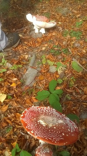 Fly agaric 3112016, jcw1967 phone pics (3)