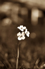 Bokelicious (Claudio Taras) Tags: claudio contrasto taras trier flower fiori bw bokeh biancoenero bokehlicious black monocromo monochrom shadow sepia 35mm18