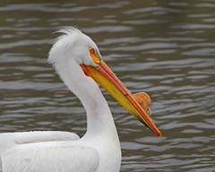 Portrait- American White Pelican (Keith Carlson) Tags: americanwhitepelican erythrorhynchos pelicans