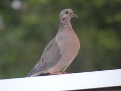DSC00199 (familiapratta) Tags: sony dschx100v hx100v iso100 natureza pássaro pássaros aves nature bird birds novaodessa novaodessasp brasil