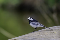 Pied Wagtail (g8196895) Tags: bird wildlife nature outdoors carrmill bokeh
