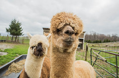 medina-7724 (FarFlungTravels) Tags: alpaca animal farm medinacounty onefineday shear wool