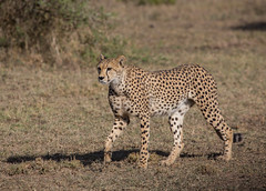 Cheetah (Ring a Ding Ding) Tags: 2017 acinonyxjubatus africa bigcat ndutu nomad serengeti tanzania cat cheetah nature safari wildcat wildlife arusharegion ngc