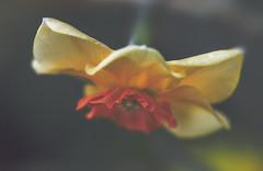 frilly skirt (rockinmonique) Tags: flower bloom blossum daffodil spring frills yellow orange green macro bokeh muttart moniquew canon canont6s tamron copyright2017moniquew