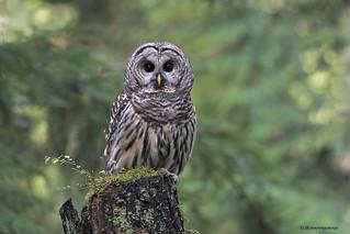 Barred Owl   Chouette rayée