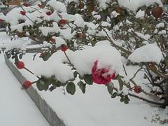 098 (en-ri) Tags: cespuglio roses sony sonysti neve snow bianco rosso inverno winter