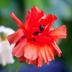 Rouge (sviet73) Tags: fleur flower macro nature rouge