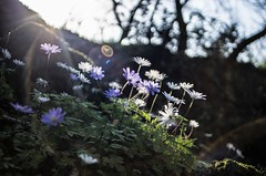 backlight, flares and flowers (ΞSSΞ®®Ξ) Tags: ξssξ®®ξ pentax k5 angle 2017 bokeh backlight green white depthoffield plant blooming anemoneapennina outdoor countryside sky kepcorautowideanglemc28mm128 forest spring light wildflowers flowerbed tufahill flares thevalleyofhorses woodland flower magic rays atmosphere lensfare