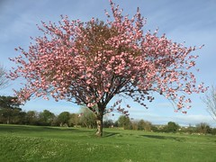 Nature - Cherry Blossom Tree - Spring 2017 - Ireland (firehouse.ie) Tags: fantasticnature colourful colors bloom blossoms blossom cherry ireland 2017 april springtime spring vegetation fauna flora trees tree nature