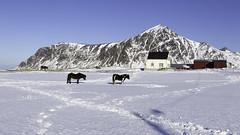 Winter in Lofoten -04- (Christian Wilt) Tags: flakstad nordland norvège no lofoten arctic articcircle norway ocean mountains horses farm snow