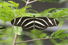 Butterfly 2017-16 (michaelramsdell1967) Tags: beauty spring color nature macro flower animals beautiful closeup natural plant butterfly animal green insect vivid garden insects wildlife zebra vibrant bug butterflies bugs photograph