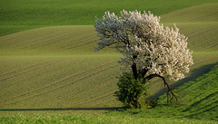 Spring in Winequarter 17.02 (lady_sunshine_photos) Tags: spring frühling weinviertel winequarter baum tree kirschbaum cherrytree blossmonigcherrytree blühender kírschbaum feld field grün green schleinbach loweraustria niederösterreich at austria österreich europe europa ladysunshine ladysunshinepohtos sonyalphanex7 supershot wonderfulworld wellenland waveland nature travel alcatel theworldisbeautiful farbwolke sundaylights
