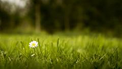 Ach Margrietje, de rozen zullen bloeien... (Sylvie.) Tags: flower margriet louis neefs lyrics park garden sonyilce6000 a6000 mechelen vrijbroekpark sel24f18z zeiss carlzeisssonnart1824emountlens