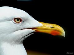 Carroñera (Franco D´Albao) Tags: dalbao fuji gaviota seagull ave bird animal francodalbao perfil profile pico beak carroñera carrion agresiva aggressive