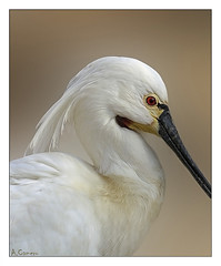Retrato animal (antoniocamero21) Tags: animal ave espátula retrato plumas color foto minolta perfil blanco