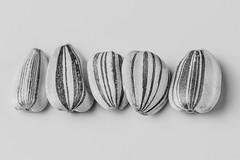 Sunflower Seeds (fingerprints1148) Tags: macromondays seeds sunflower stripes bw row macro