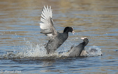 Biesbosch - Coot attack (CapMarcel) Tags: biesbosch goose geese duck canadian nikon d500 500mm
