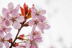 Pink blossom (Explore 2017-04-16) (Infomastern) Tags: fav200 malmö slottsparken blossom spring vår geocountry geostate geolocation geocity explore fav100