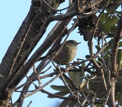 Striated Thornbill - out on a limb! (Free_aza_Bird) Tags: striated thornbill striatedthornbill acanthiza lineata acanthizalineata waratah bay waratahbay gippsland victoria bird birder