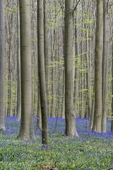Tapis de jacinthes des bois