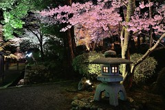 三井寺,滋賀縣,日本, Japan (Vincent_Ting) Tags: 三井寺 滋賀縣 日本 japan 櫻花 夜櫻 nightscene 琵琶湖 關西 architecture cherry cherryblossoms kansai