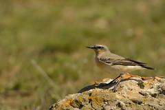 traquet motteux (frederic.laroche6) Tags: traquet oiseau bird crau provence nikon d7100 nikkor 200 500 f56 14 animalier