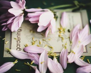 Daisy Seeds~