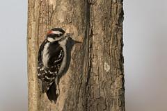 Downy Woodpecker (jackdean3) Tags: downy woodpecker jack dean bird nature kentucky